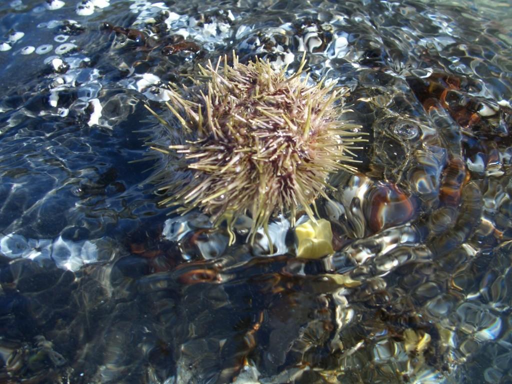 Маленький лохматый морской еж